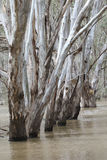 Gum trees reflected in a flooded creek Stock Photography