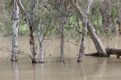 Gum trees reflected in a flooded creek royalty free stock photos