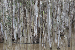 Gum trees reflected in a flooded creek Stock Photo