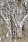 Gum trees reflected in a flooded creek Stock Images