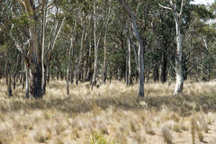 Gum trees regrowth Stock Photography