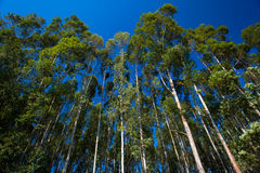 Gum Trees Upward Blue. Wide angle lens used to capture the photo image looking upwards at the long gum trees with the blue sky above. Good sunlight shows the Royalty Free Stock Photo