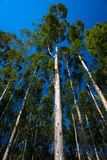 Gum Trees Vertical Skywards. Wide angle lens used vertically to capture the photo image looking upwards at the long gum trees with the blue sky above. The Close Royalty Free Stock Photo