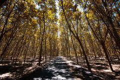 Guma trees Zdjęcia Royalty Free
