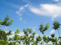 Guma trees Zdjęcia Stock