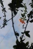 Gumamela (гибискусы) Стоковые Фотографии RF