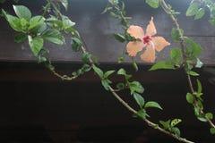 Gumamela Филиппин Стоковое Изображение RF