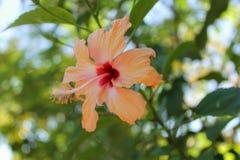 Gumamela blomma Arkivbilder