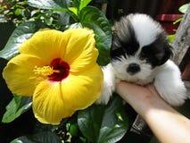 Gumamela-Blume gegen Welpen lizenzfreies stockbild