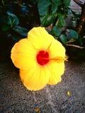 Gumamela flower. Full blown flower Royalty Free Stock Photo