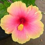 Gumamela multicolorido Fotografia de Stock
