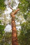 Gumbo-Überhangsbaum im Wald Stockfotografie