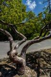 Gumbo Limbo Tree Stock Photo