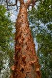 Gumbo-limbo tree with peeling bark Royalty Free Stock Photo