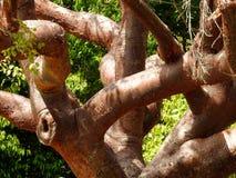 Gumbo-Schwebe-Baum stockbilder