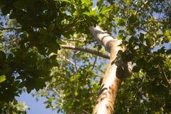 Gumbo-Vorhöllen-Bäume Stockfotografie