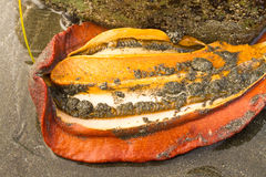 Gumboot chiton Stock Photo