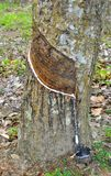 Gummi-Baum Lizenzfreies Stockbild