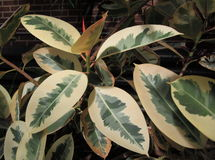 Gummianlage mit schönen Blättern stockfotografie