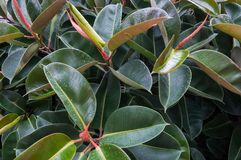 Gummibaum Ficus elastica Lizenzfreie Stockfotos
