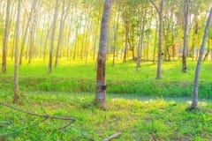 Gummibaum-Gartenlandwirtschaft im hellen Ton der Landschaft und des Sonnenuntergangs mit Kopienraum addieren Sie Text Stockfotos