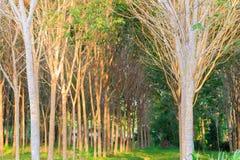 Gummibaum-Gartenlandwirtschaft im hellen Ton der Landschaft und des Sonnenuntergangs mit Kopienraum addieren Sie Text Stockfotografie