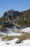 Gummibaum im Schnee lizenzfreie stockbilder
