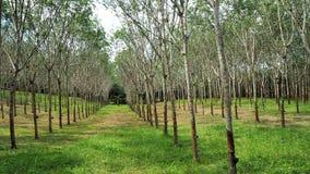 Gummibaum Plantage Lizenzfreies Stockfoto