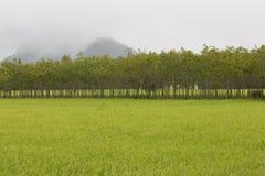 Gummibaum- und Reissprössling morgens Lizenzfreie Stockfotos