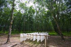 Gummiplantagen Stockbilder