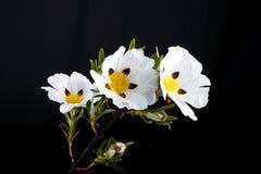 Gummirockrose - Cistusladanifer Royaltyfria Foton