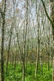 Gummiträd Royaltyfria Foton