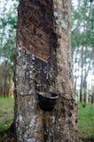 Gummiträd Royaltyfri Foto