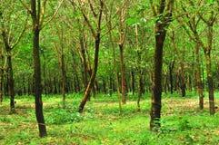 Gummiträd av vilageren Arkivfoto