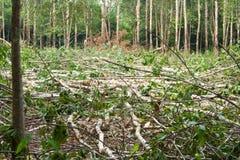 Gummiträd som avverkas. Fotografering för Bildbyråer