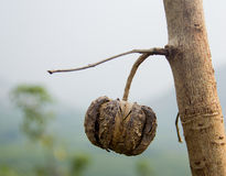 Gummiträdet kärnar ur Arkivbilder