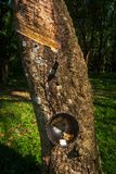 Gummiträdet som producerar vitt gummi, mjölkar samlat i en svart kopp royaltyfri bild