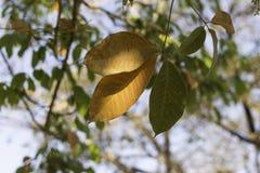 Gummiträdsidor med guling eller orange färgtjänstledigheter av, höstsäsong Arkivfoto