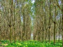 Gummiträdskog arkivfoton
