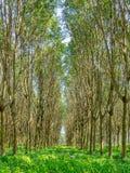 Gummiträdskog royaltyfria foton