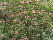 Gummiväxt med beautifully rosa blommor arkivbilder