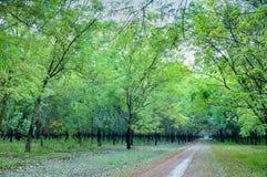Gummiwald mit grünen Blättern Stockbild
