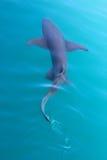 Gummy shark swimming. A gummy shark swims through turquoise water, Northern Australia Kimberley Royalty Free Stock Image