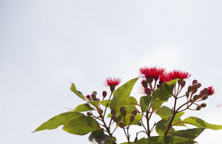 Gumnut blossoms stock image