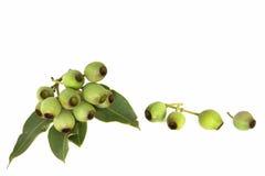 Gumnuts Stockfotos