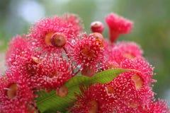 Gumnuts rosso Fotografie Stock