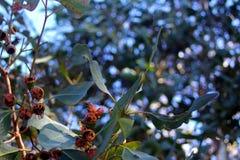 Gumnuts vers le haut de haute Photographie stock