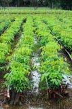 Gumowa drzewna pepiniera zdjęcia stock