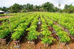 Gumowa drzewna pepiniera obrazy royalty free