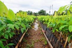 Gumowa drzewna pepiniera zdjęcie stock